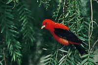 Scarlet Tanager, Piranga olivacea, male on Mesquite tree, South Padre Island, Texas, USA