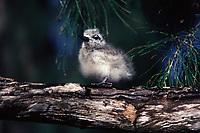 bird, White Tern, Gygis alba, chick in ironwood tree on Sand Island, Midway Atoll, Papahanaumokuakea Marine National Monumen, Northwestern Hawaiian Islands