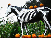 Pumpkins sit atop Old Paint who's wearing his skeleton costume for Halloween.