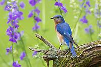 01377-17812 Eastern Bluebird (Sialia sialis) male in flower garden, Marion Co., IL