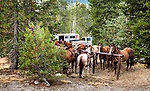 Saddling horses for pack trip. Western slope of the Sierra Nevada, California