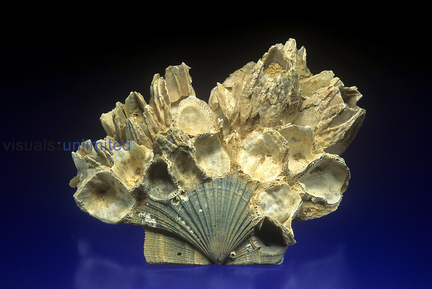 Barnacle fossils (Balanus concavus) on a Pecten shell fossil (Chesapecten), Miocene Period, Maryland, USA.