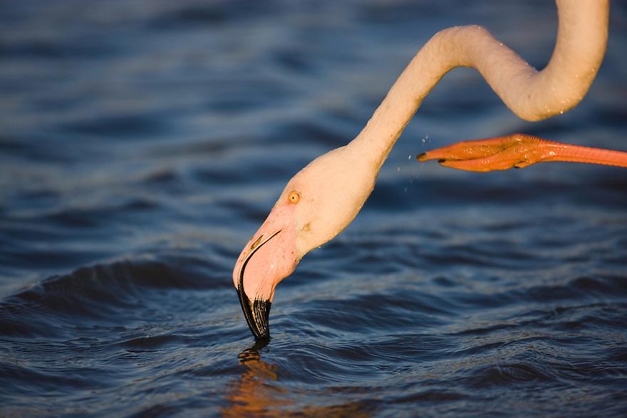 Greater Flamingo (Phoenicopterus roseus) in lagoon, close-up, Pont Du Gau, Camargue, France