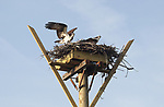 2017_04_10 Osprey Successfully Relocated in Monmouth Beach