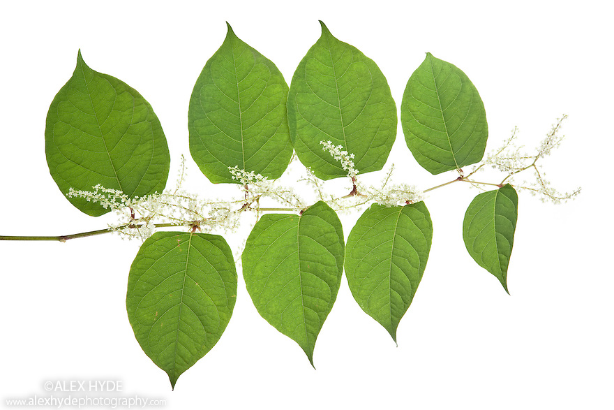 Japanese Knotweed {Fallopia japonica} classed as an invasive species in the UK. The plant can damage buildings and roads as well as forming dense colonies that crowd out native species. Photographed against a white background in mobile field studio, UK, May.