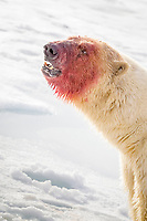 polar bear, Ursus maritimus, face, covered with blood after feeding on Atlantic walrus, Spitsbergen, Svalbard, Norway, Arctic Ocean