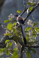 20080201_Periyar, India_ A White Bellied Tree Pie in the Periyar Wildlife Sancuary in the Southern Indian state of Kerala.  Photographer: Daniel J. Groshong/Tayo Photo Group