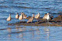 Marbled Godwit, Laguna San Ignacio, Baja Sur, Mexico
