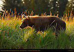 Alaskan Coastal Brown Bear in Sedge Grass at Sunrise, Silver Salmon Creek, Lake Clark National Park, Alaska