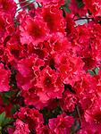 Red Ruffles Azalea, Rhododendron hybrid