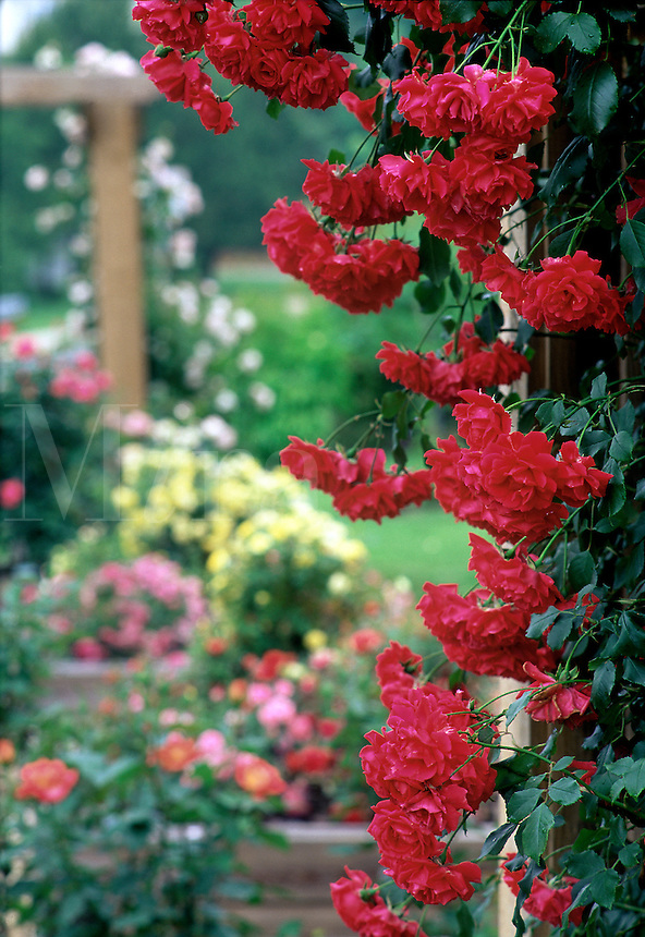 Garden with roses on trellis #5856. Virginia.