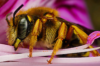Solitary Bee that is a wasp or hornet mimic