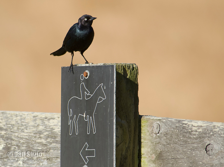 Male Brewer's blackbird, Euphagus cyanocephalus, Point Reyes National Seashore, California