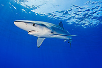 blue shark, Prionace glauca, Azores, Portugal, Atlantic Ocean