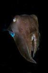 Broadclub cuttlefish portrait, Sepia latimanus, Lembeh Strait, Bitung, Manado, North Sulawesi, Indonesia, Pacific Ocean