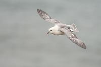 Fulmar in flight over the sea