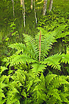 Cinnamon ferns in beech forest, Unaka Mountain Wilderness