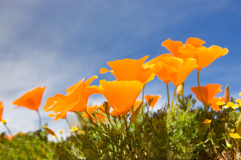 California poppies. Antelope Valley Poppy Preserve. California