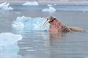 Adult walrus (Odobenus rosmarus) in shallow water. Northern Spitsbergen, Svalbard, Arctic Norway.