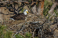 Bald Eagle Nest (Haliaeetus leucocephalus)--adult with ten to twelve day old eaglet in nest in tall ponderosa pine tree.  Oregon.  April.