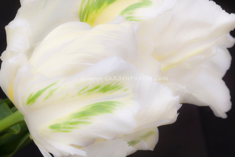 Parrot Tulips Madonna in white spring flowers bulbs with green markings flare, black background, soft focus