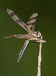 Dragonfly, Halloween Pennant, Celithemis eponina