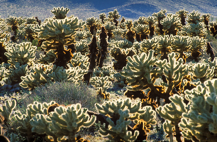 Teddy Bear Cholla (Cylindropuntia bigelovii), cactus native to California, Arizona, and Nevada (USA) and northwestern Mexico. Grow in desert regions at elevations from 100 to 300 ft (30 to 91 m)Desert pack rats like Desert Woodrat gather balls of fallen stems around their burrows to create a defense against predators. Teddy-bear cholla is extremely flammable. Joshua Tree National Park, created 1994 with passage of California Desert Protection Act (previously National Monument Est. 1936). 790,636 acres (319,959 ha) or 1,235 sq. mi. Colorado Desert, Riverside County, CA.