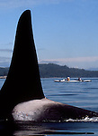 Orca whale, sea kayakers, Inside Passage, Johnstone Strait, Vancouver Island, British Columbia, Canada, North America, Northern resident pod, Orcinus orca.