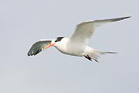 Adult Elegant Tern (Sterna elegans) in non-breeding plumage in flight. Monterey County, California. November.