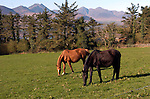 Horses grazes in a field in Aghadoe, Killarney.<br /> Photo Don MacMonagle<br /> e: info@macmonagle.com