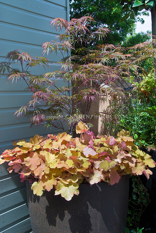 Perennial Heuchera And Acer Palmatum Dissectum Japanese Maple Tree In Pot Container  Garden Next To House