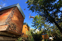 Asian hornets flying around the hives.///Les frelons asiatiques en vol autour des ruches.