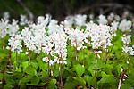 Wildflower - Wrangell - St. Elias NP