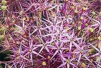 Allium christophii, ornamental onion flowers closeup starry clusters