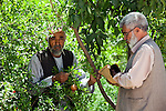 8 June 2013, Mula Sultan village, Kholm District , Mazar-i-Sharif, Balkh Province, Afghanistan. Local farmer Ahmad Shah (55,left) with NHLP Pest Management officer Sayed Ghulam , on his orchard at  Mula Sultan village, Kholm District , where he is growing pomegranates, almonds and figs. Mr.Shah is bagging his pomegranate fruit to prevent pests destroying his crop. Mr. Shah  is benefitting from the new National Horticulture and Livestock Project (NHLP). The trees are part of a re-generation program that allows him to access Farmers Field School that teaches better growing techniques, fertilising methods and marketing of his fruit. His production output has grown from a paltry 20% to something near 80% as a result of the NHLP. The NHLP is providing training and equipment to farmers to assist in increasing production and to improve management of lands and animals. Picture by Graham Crouch/World Bank