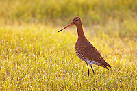 Black-tailed Godwit (Limosa limosa), Texel, the Netherlands