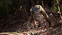 Adult male Fosa {Cryptoprocta ferox} prowling in dry deciduous forest, Kirindy Forest, Western Madagascar, IUCN vulnerable species.