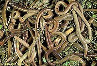 1Y01-039c  Earthworm - mass of nightcrawlers - Lumbricus terrestris.