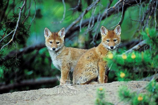 Wild Coyote pups within twenty feet of its den.  Western U.S., June.