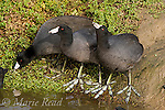 American Coots (Fulica americana), three at water's edge to drink, Bolsa Chica Ecological Reserve, California, USA