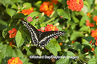 03009-015.14 Black Swallowtail (Papilio polyxenes) male on Red Spread Lantana (Lantana camara) Marion Co.  IL