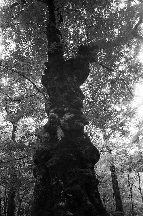A tree in Mount Iwaki.