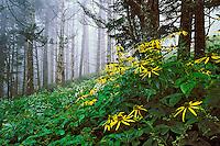 Wild Golden-glow Flowers, Rudbeckia laciniata.Great Smoky Mountains National Park, TN/NC