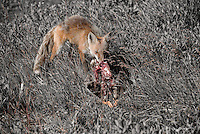 A red fox dines on the carcass of a greater white fronted goose on Alaska's north slope.