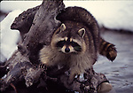 Raccoon on stump, FB-S170, 4x6 postcard back small photo, crop to vertical