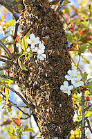 A swarm of bees on a branch of a cherry tree.///Un essaim d'abeilles accroché à une branche de cerisier.