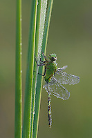 Great Pondhawk , Erythemis vesiculosa, adult resting on cattail covered in Dew, Willacy County, Rio Grande Valley, Texas, USA, June 2006