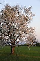 Deutschland, Bayern, Oberbayern, Chiemgau, Siegsdorf: 300 Jahre alter, bluehender Kirschbaum im Morgenlicht