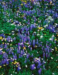 Mount Rainier National Park,  WA<br /> A carpet of alpine wildflowers including lupine, valerian, arnica, and subalpine daisies near Tipsoo Lake