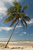Ilheus, Bahia State, Brazil. Southern beaches. Single leaning palm tree on the beach.